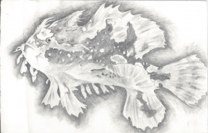 Pencil sketch of a Lion Fish. About the size of a piece of office paper.
